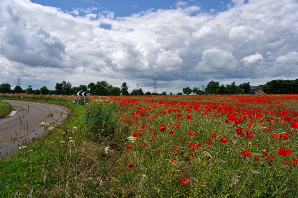 Poppies, Risby Road